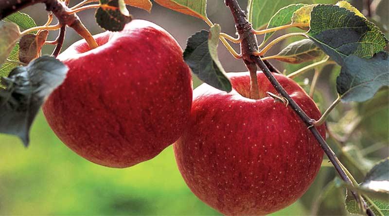 सेब की खेती करने वाले किसान को क्यों कर रहे हैं बर्फबारी का इंतजार