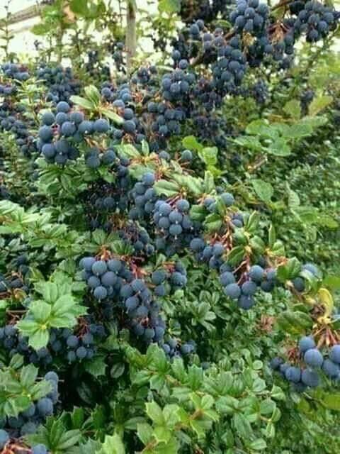कई घातक बीमारियों के लिए रामबाण औषधि हैं, उत्तराखंड में पाया जाने वाला जंगली फल किनगोड़