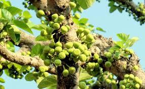 उत्तराखंड का जंगली फल तिमला,जिससे होगा कैंसर का इलाज़