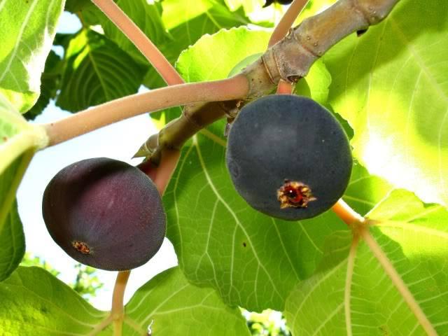 कई घातक बीमारियों के लिए रामबाण औषधि  है,पहाड़ी फल बेडु