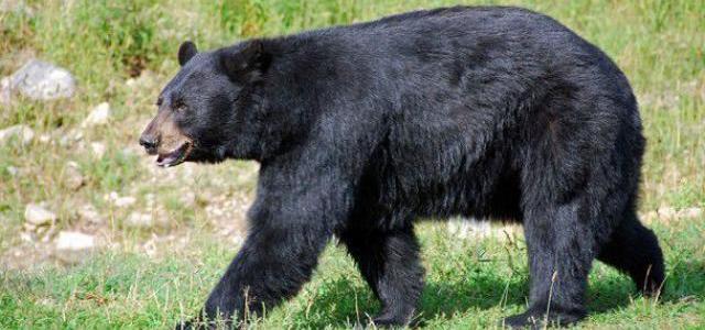 लैंसडौन तहसील के पैन्यूली गांव भालू के हमले में ग्रामीण की मौत