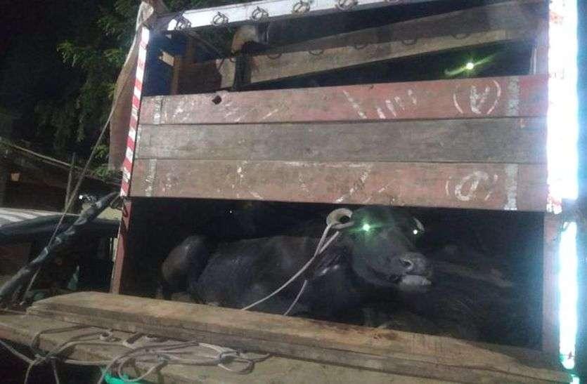 लोहाघाट में जबरन पशुओं को गाड़ी में भर कर ले रहे लोगों पर बड़ी कार्रवाई